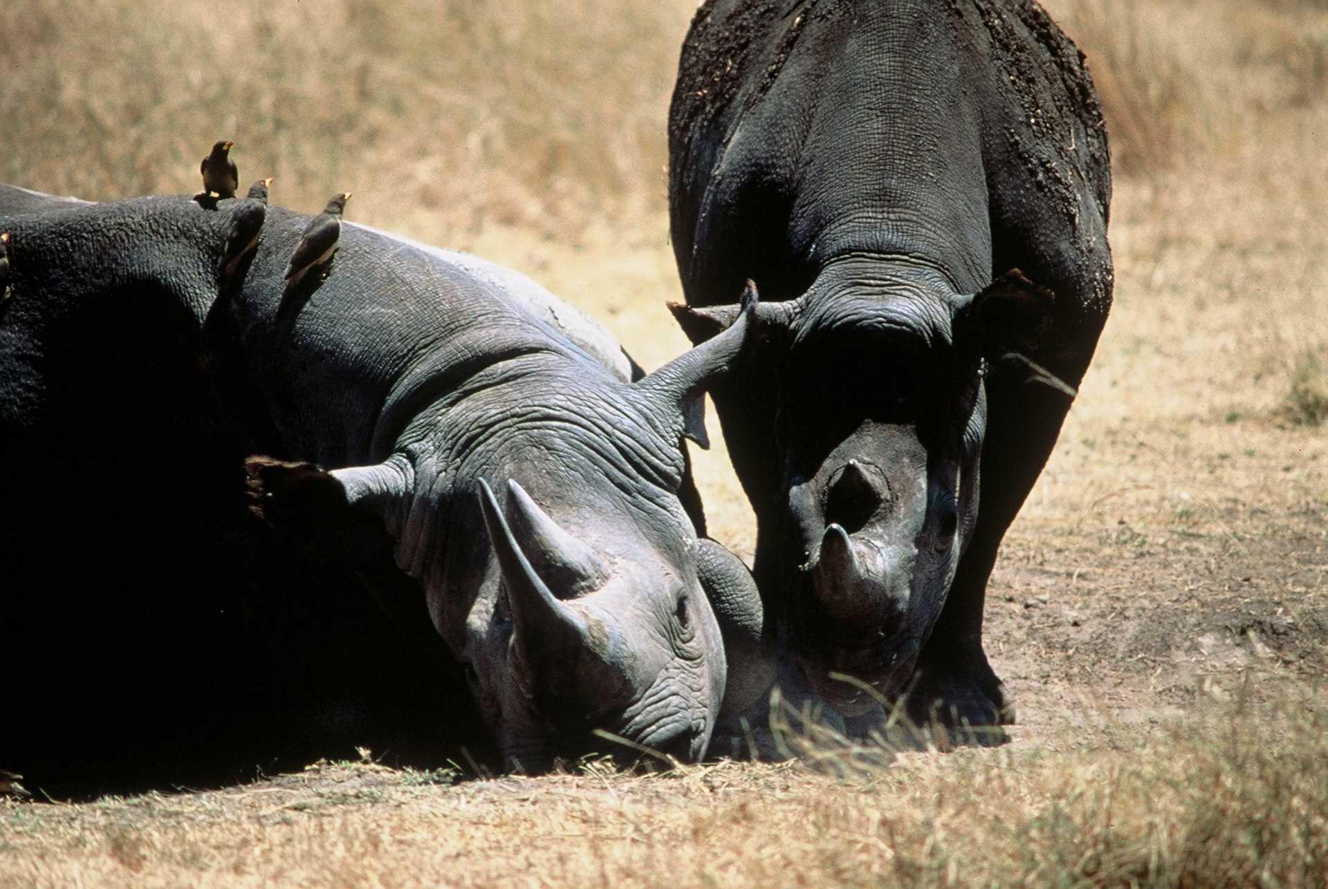 Rhinocéros dans la savane en Tanzanie