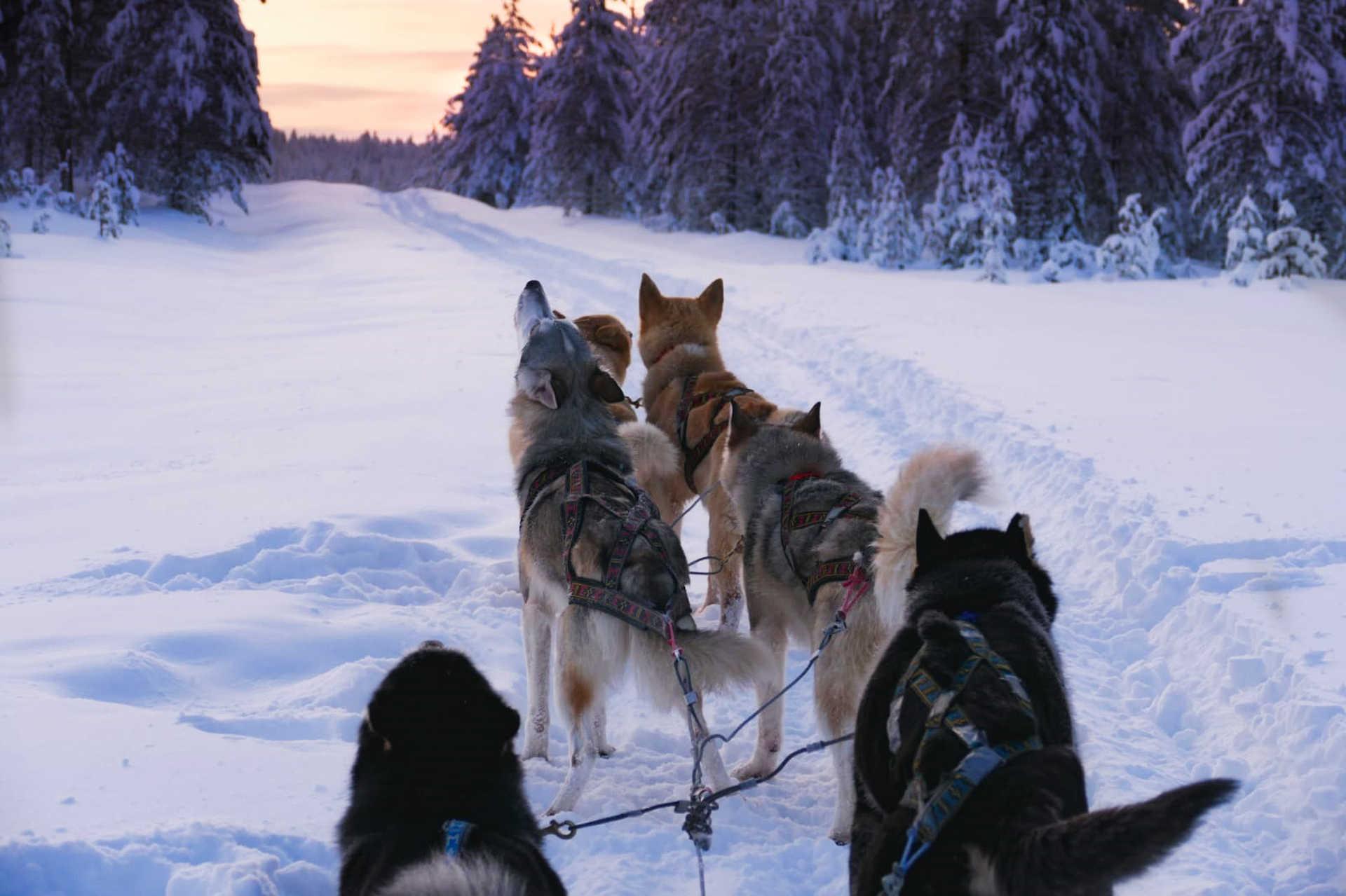 Traineau à chiens en Finlande