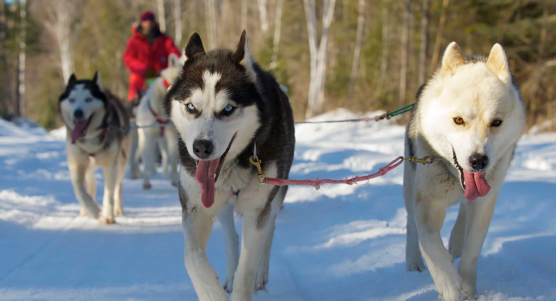 Chiens de traineau au Québec l'hiver