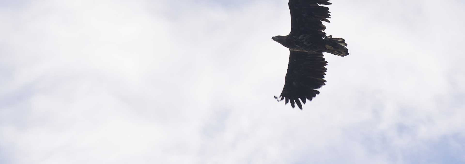 Aigle de mer Norvège