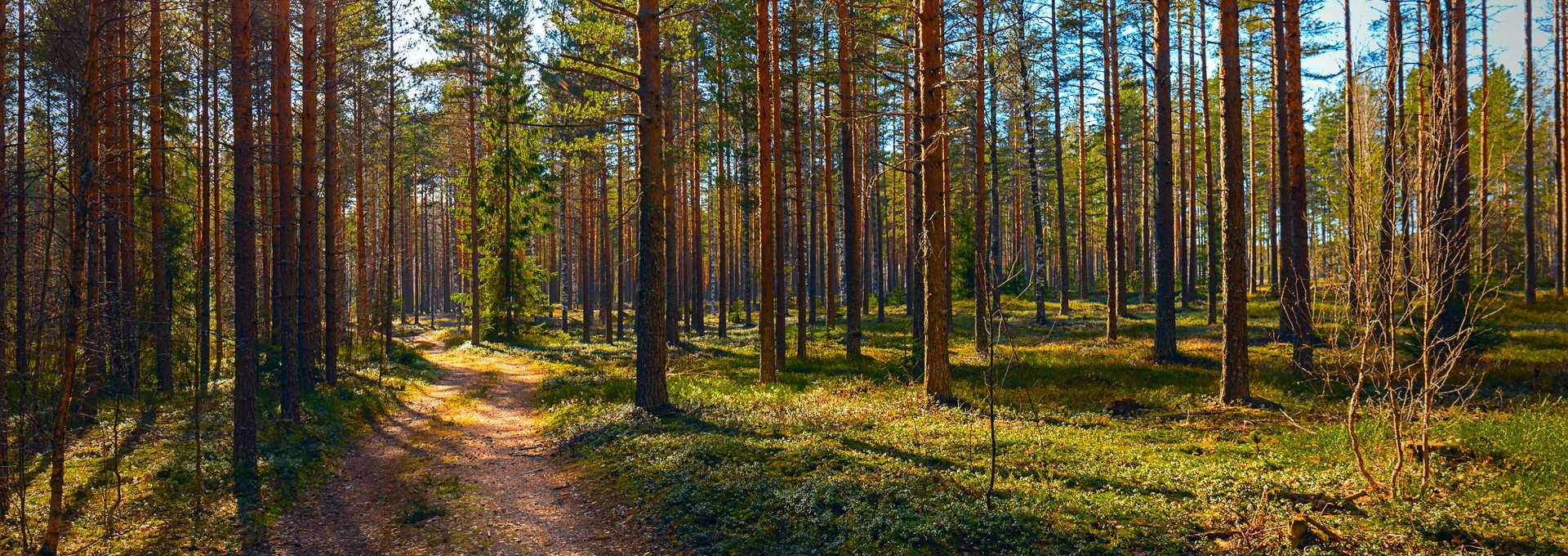 Taïga l'été en Laponie, Finlande