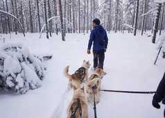 Cani-randonnée en Laponie, Finlande