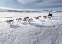 Chien de traineau en hiver au groenland