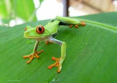 Costa Rica, parc de Cahuita, grenouille verte