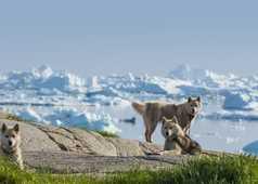 Groupe de chiens devant les icebergs au Groenland