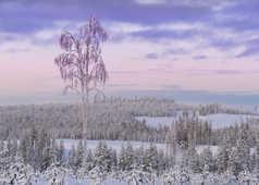 Kangasvaara, taiga sous la neige en Laponie finlandaise