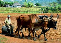Labourage du champs par un cubain et ses bœufs
