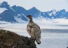 Lagopède alpin au Svalbard