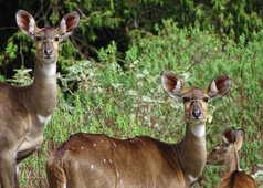 Le Nyala dans le parc des montagnes du Balé en Ethiopie
