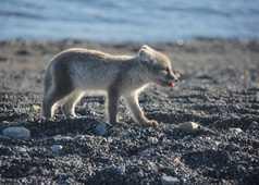Renard polaire en été au Spitzberg