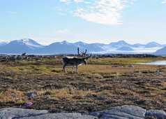 Renne du Svalbard l'été, Spitzberg