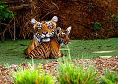Tigres dans le Parc National de Bandhavgarh