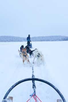 Chien de traîneau en Laponie