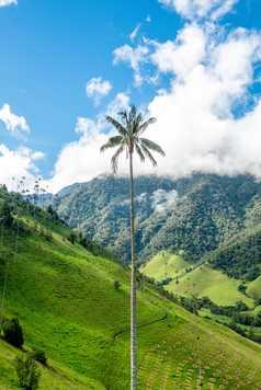 Palmier de Cire, Vallée de Cocora