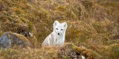 Renard polaire blanc en Arctique