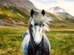 Cheval en Islande