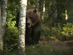 Observation des ours bruns en Finlande près du parc de Hossa