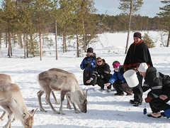 Visite d'une ferme de rennes en Laponie