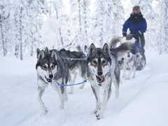 Safari en chiens de traîneau en Laponie