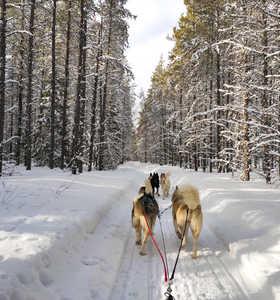 Chien de traîneau dans la taïga l'hiver au Canada