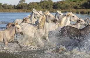 Camargue chevaux