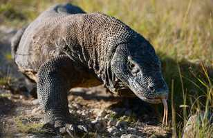 Le dragon de Komodo nous tire la langue