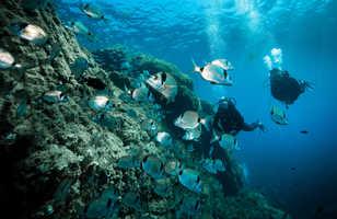 Les reflets des sars illuminent les plongées méditerranéennes