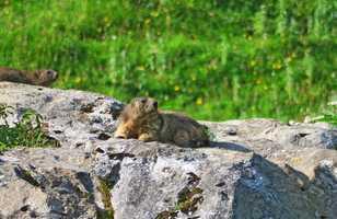 Marmotte se réchauffant au soleil dans le Queyras