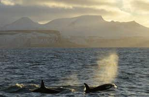 Orques devant la côte islandaise