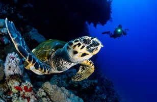 Parmi les habitants de Mer Rouge, la tortue imbriquée fait partie des chouchous des photographes