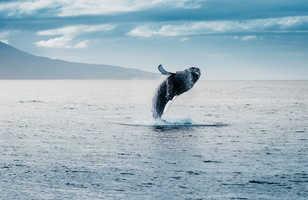 Saut de baleine en Islande