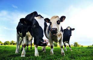 Vaches en Normandie