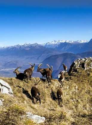 Bouquetin dans le Vercors, col des deux soeurs, Alpes du Nord