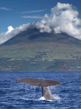Cachalot devant le volcan Pico