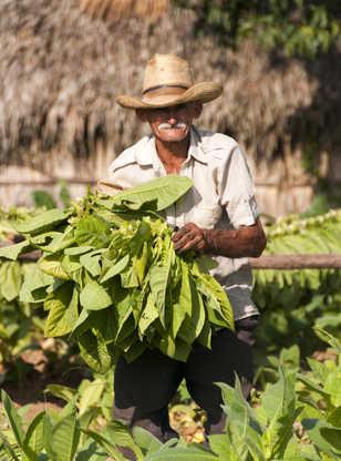 Récolte de fermier d'un champ de tabac