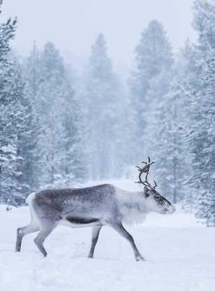Renne sauvage en Laponie l'hiver, Finlande