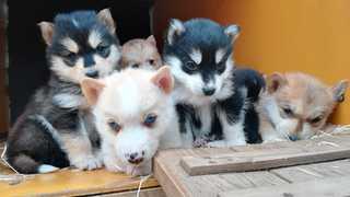 Chiots husky