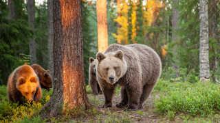 Observation d'ours bruns en Finlande