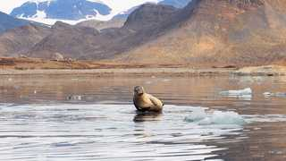 Phoque en baie du roi au Spitzberg, Svalbard
