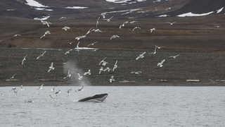 Photo d'une baleine, repas.