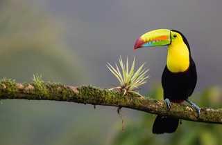 toucan, faune, costa rica, oiseau