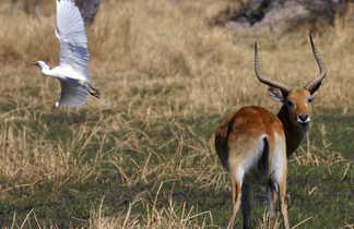 Antilope dans la brousse