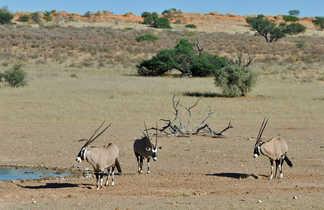 Antilopes dans la Savane
