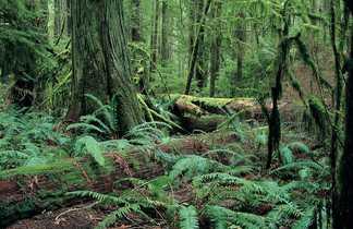 Arbres millénaires de Cathedral Grove sur l'île de Vancouver