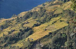 Rizières des balcons des Annapurnas