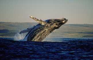 Baleine à bosse à Hermanus dans la province du Cap-Occidental en Afrique du Sud