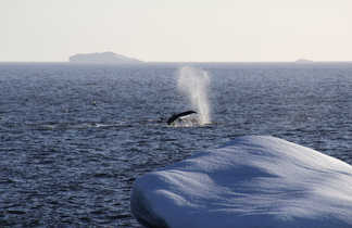 Baleine à bosses au Groenland