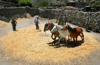 Battage du riz dans le Haut-Mustang
