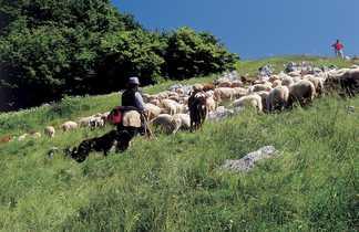 Berger et son troupeau dans le Vercors, Alpes