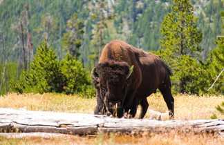 Bison dans les rocheuses américaines